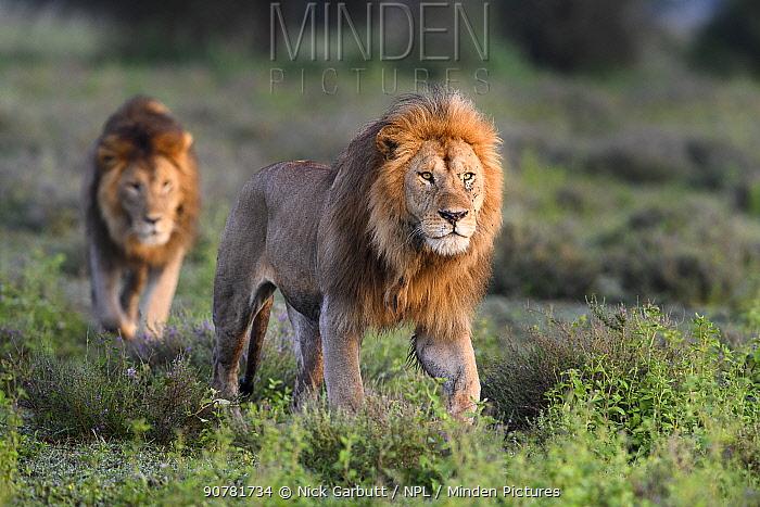 Lions (Panthera leo) - two brothers patrolling territorial boundary at border of Serengeti / Ngorongoro Conservation Area (NCA) near Ndutu, Tanzania.