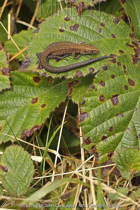 Viviparous lizard (Zootoca vivipara), Herefordshire, England UK. September.