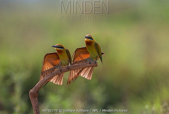 Blue-tailed bee-eater (Merops philippinus) pair sitting on perch, with a wing stretched, preening in synchronization.  Near Ranganathittu Bird Sanctuary, Karnataka, India.