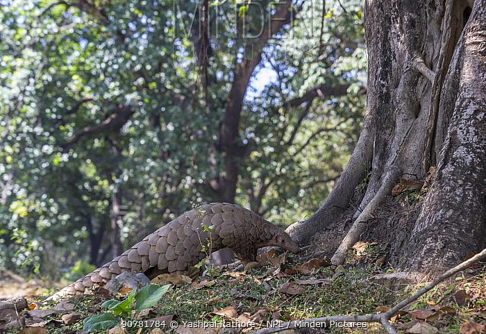 Indian Pangolin (Manis crassicaudata) foraging, Kanha National Park, Madhya Pradesh, India.