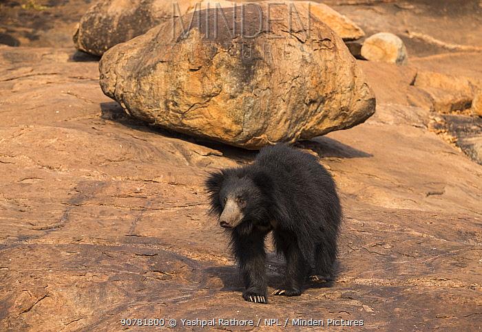 Sloth bear (Melursus ursinus) Daroiji Bear Sanctuary, Karnataka, India.