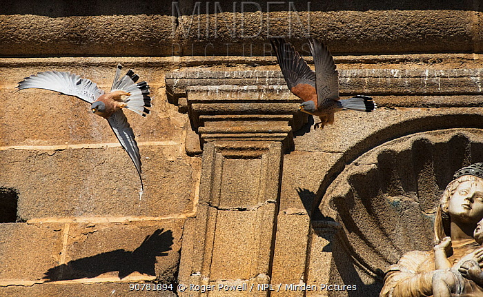 Two male Lesser kestrels (Falco naumanni) in pursuit flight,  one driving off the other from its nesting territory. Extremadura, Spain.
