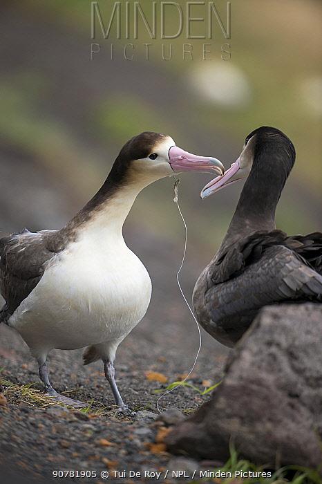 Short tailed albatross (Phoebastria albatrus) subadults courting, one with fish-hook and monofilament line embedded in throat. Tsubamezaki, Torishima Island, Japan. December.