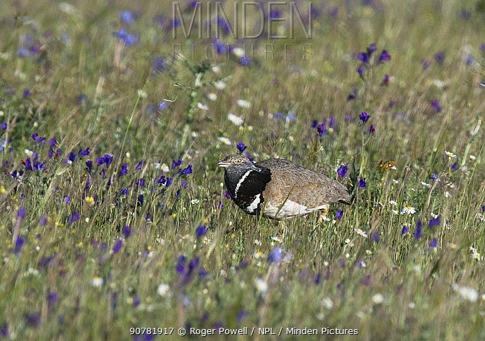 Little bustard male (Tetrax tetrax) patrolling through flower meadow breeding territory. Alentejo, Portugal, April.