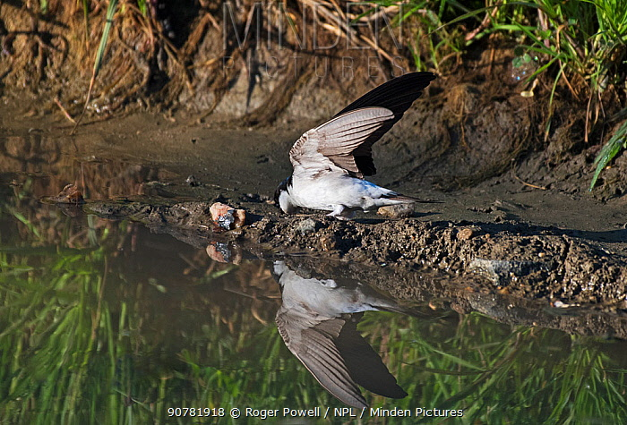 House martin (Delichon urbicum) collecting mud from a pool for nest building.  Alentejo, Portugal, April.