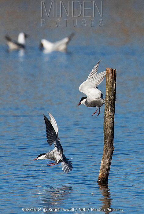 Two Whiskered terns (Chlidonias hybridus) fighting over perch, Le Cherine Nature Reserve, La Brenne, France. April.