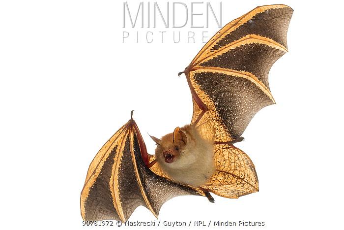 Welwitsch's bat (Myotis welwitschii) in flight, Bela Vista, Gorongosa National Park, Sofala, Mozambique. Controlled conditions