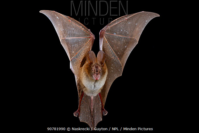 Large slit-faced bat (Nycteris grandis) in flight, Chironde, Sofala, Mozambique. Controlled conditions