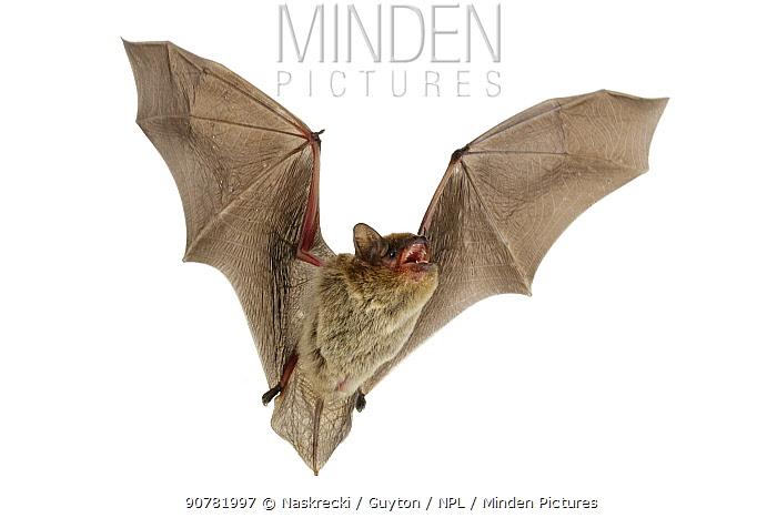 Zulu serotine bat (Neoromicia zuluensis) in flight, Codzo Caves, Mazamba, Sofala, Mozambique. Controlled conditions