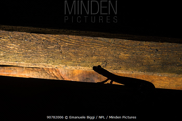 Strinati's cave salamander (Speleomantes strinatii), at night on wood pallet, Genoa Italy.