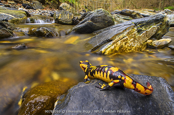 Fire salamander (Salamandra salamandra) female   almost ready to give birth to her larvae into the stream, Apennines. Antola Regional Park, Italy