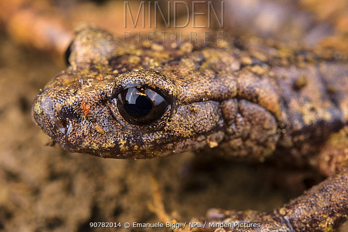 French cave salamander (Speleomantes strinatii) portrait, Italy, April.