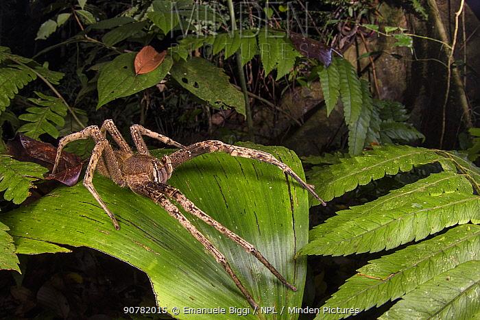Banana spider (Phoneutria sp.) at night, Peru. July.