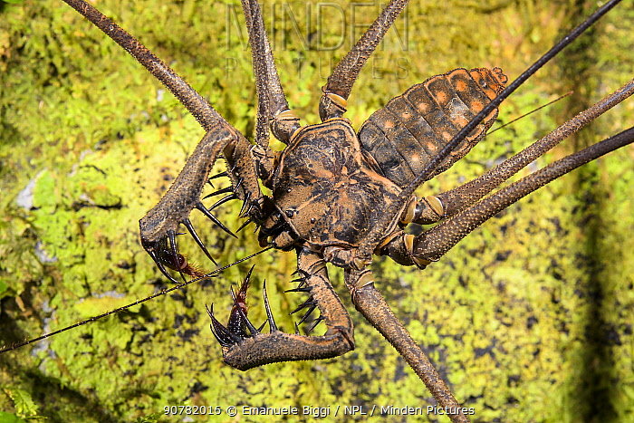 Tailless whip scorpion (Heterophrynus elephas) Peru.