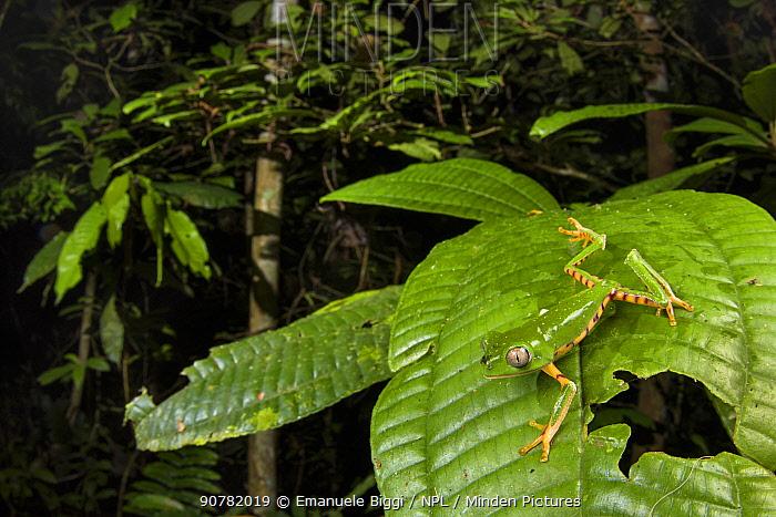 Tiger-leg monkey frog (Phyllomedusa tomopterna) Peru.