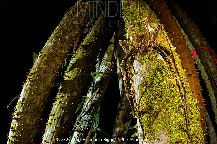 Banana spider (Phoneutria sp.) active at night in the rainforest of Peru.