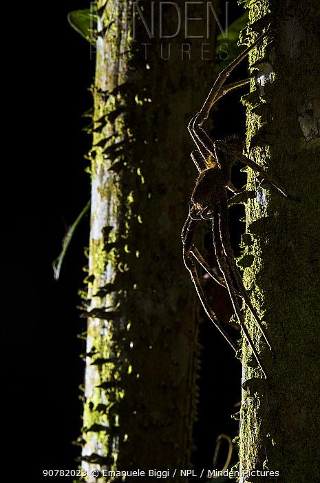 Banana spider (Phoneutria sp.) at night, Peru.