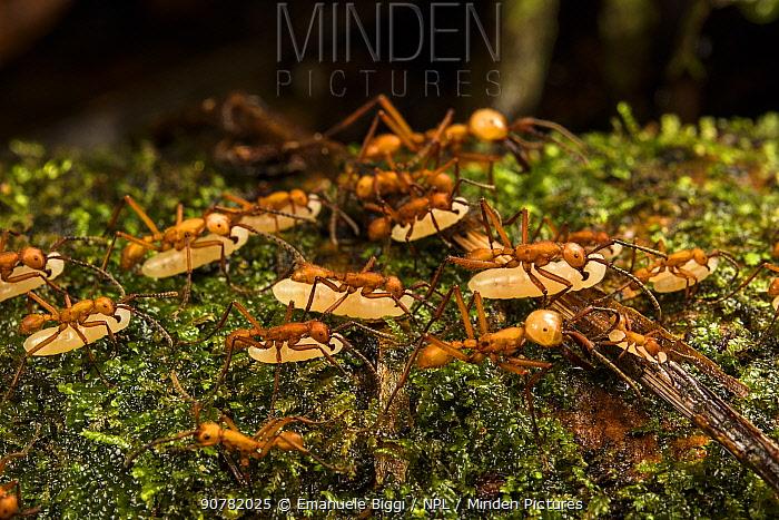 Ant (Eciton hamatum) migrating nest site carrying larvae, Los Amigos Biological Station, Peru