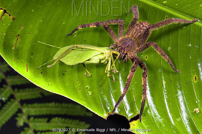 Armed spider (Phoneutria sp) eating a leaf katydid (Typophillum sp.), Peru.