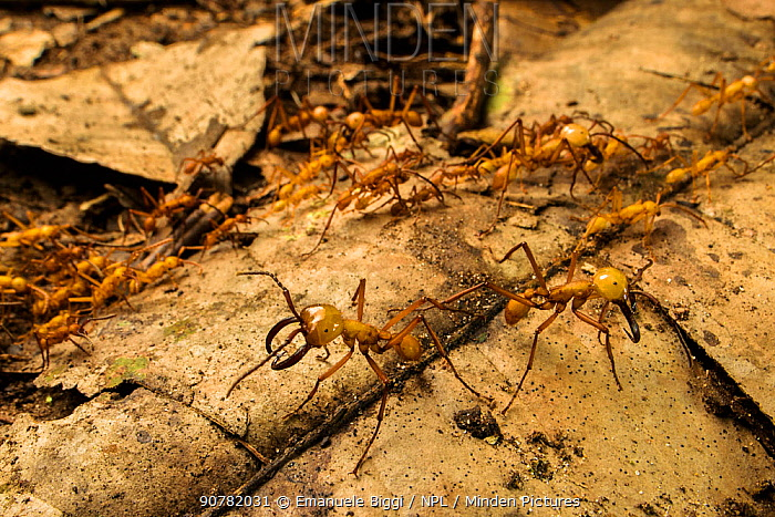 Army ants (Eciton hamatum) soldiers patrolling near the pathway of workers, Los Amigos Biological Station, Peru