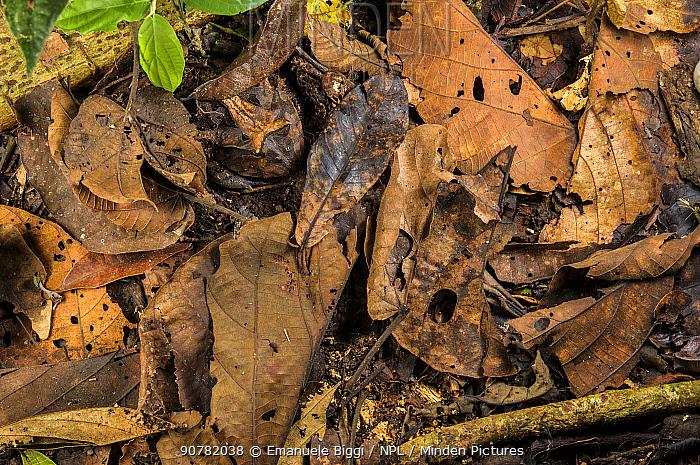 Peruvian horned frog (Ceratophrys cornuta) camouflaged in leaf litter, Peru
