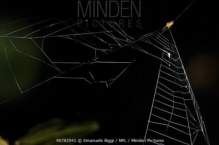 Slingshot spider (Theridiosomatidae sp.), Peru