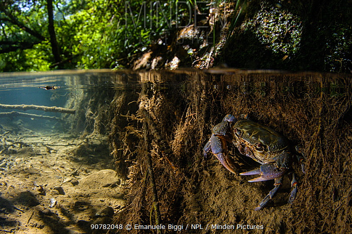 Freshwater crab (Potamon fluviatile), adult male at the entrance of its burrow, Tuscany, Italy, August.