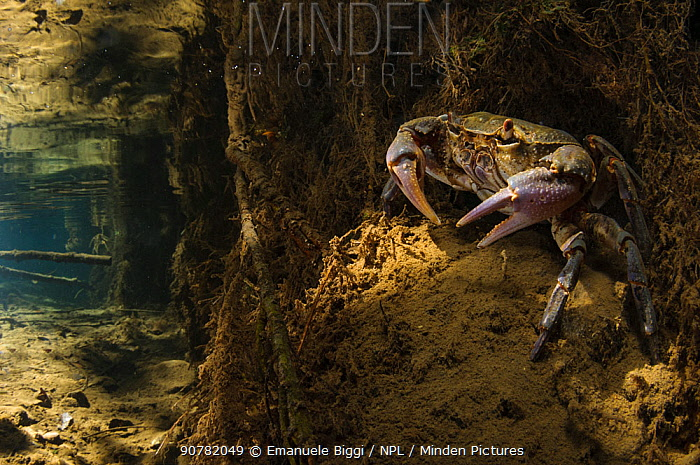 Freshwater crab (Potamon fluviatile) adult female on stream bed at the entrance of her burrow, Italy.  August 2012.