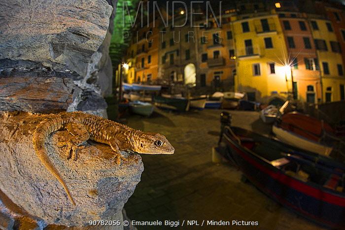 Moorish gecko (Tarentola mauritanica)  at night,  Riomaggiore Cinque Terre National Park, Italy, March.