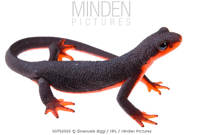 Red-bellied newt (Taricha rivularis) on white background, California, USA, August.