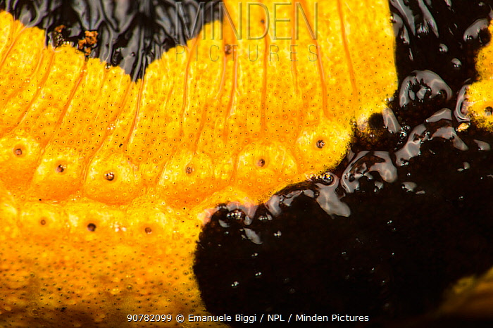 Fire salamander  (Salamandra salamandra) close up of skin, Italy