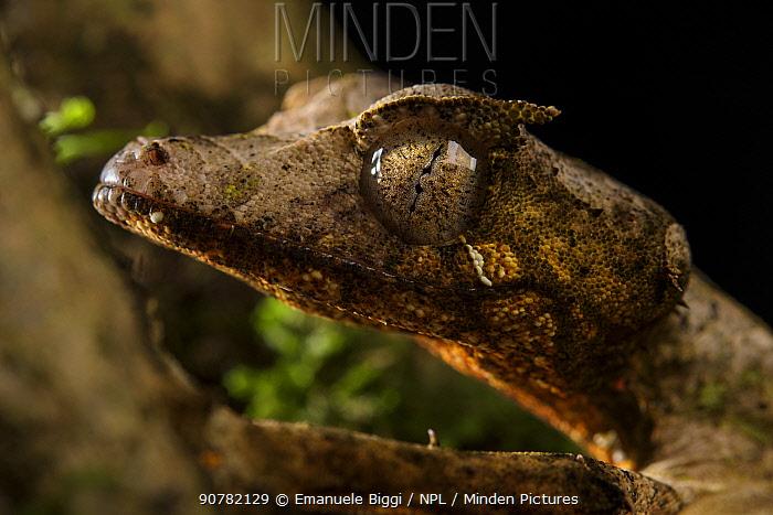 Satanic leaf-tailed gecko (Uroplatus phantasticus), Andasibe National Park, Madagascar