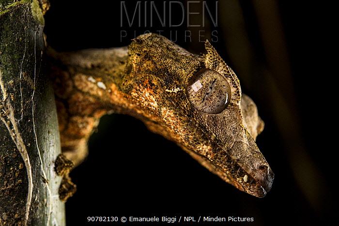 Satanic leaf-tailed gecko (Uroplatus phantasticus) at night, Andasibe National Park, Madagascar