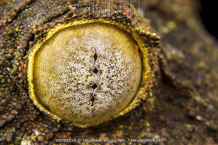 Mossy leaf-tailed gecko (Uroplatus sikorae) close up of eye Madagascar