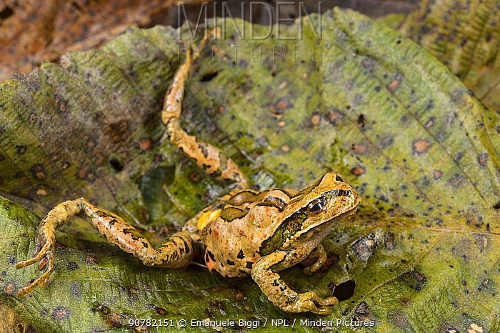 Abra Acanacu marsupial frog (Gastrotheca excubitor) dying due to heart attack caused by Chytrid fungus (Batrachochytrium dendrobatidis) Peru.