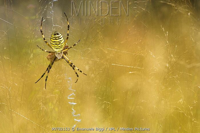 Wasp spider (Argiope bruennichi) on web, Italy, August.