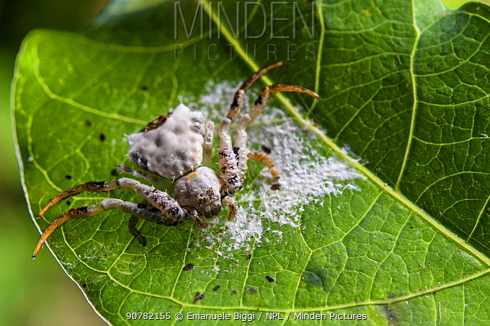 Bird-dropping spider (Phrynarachne decipiens) camouflaged on web to look like bird faeces, Borneo.