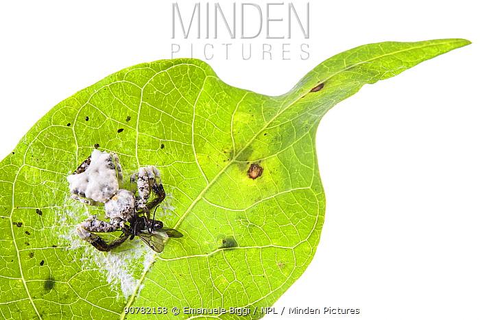 Bird-dropping spider (Phrynarachne decipiens) camouflaged on web on leaf to mimic bird faeces, Borneo.