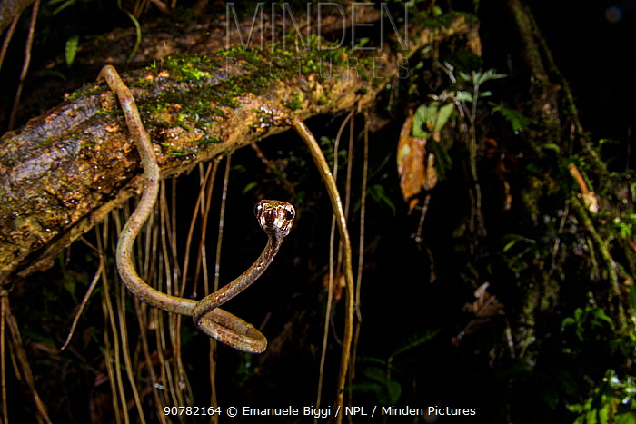 Blunthead slug snake (Aplopeltura boa)  Mulu National Park, Sabah, Borneo