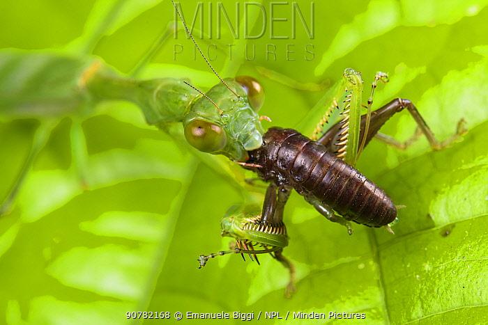 Mantis (Gildella suavis) feeding, Mulu National Park, Sabah, Borneo.