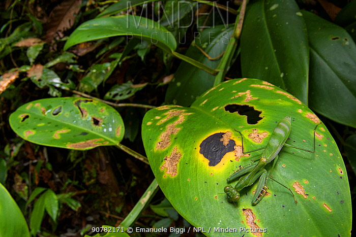 Green mantis (Gildella suavis) staying low to cast less shadows on the leaf, Mulu National Park, Sabah, Borneo.