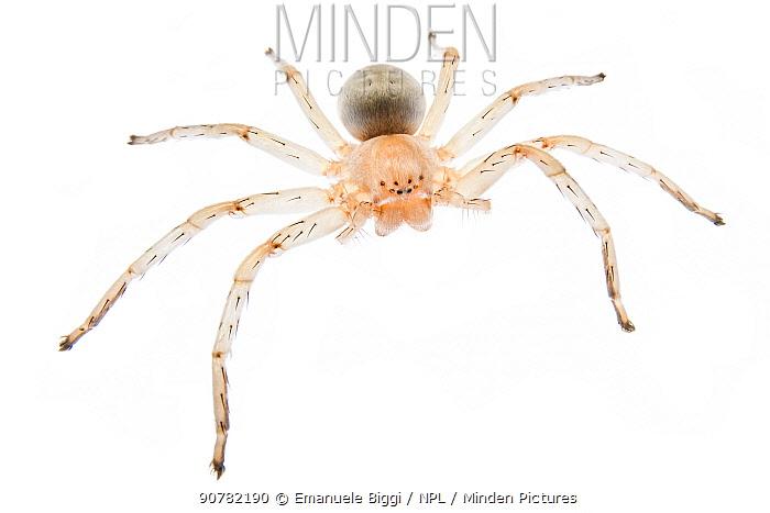 Cart-wheeling spider (Carparachne sp) photographed against white background, Swakopmund, Namibia. August.