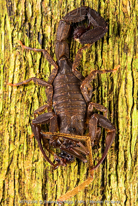 Scorpion (Tityius cf. aesthnes) eating pieces of two different spider species, Los Amigos Biological Station, Peru