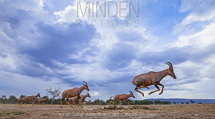 Topi (Damaliscus lunatus jimela) running, taken with remote camera. Maasai Mara National Reserve, Kenya.
