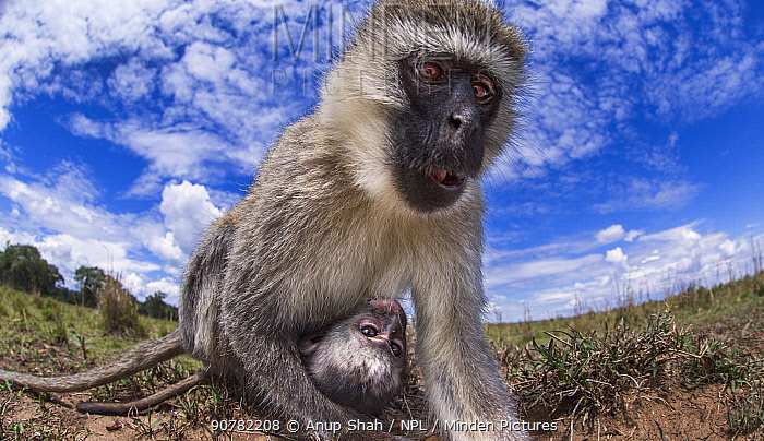 Vervet monkey (Cercopithecus aethiops) female and baby peering with curiosity - remote camera perspective.  Masai Mara National Reserve, Kenya, December.