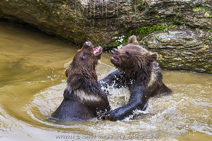 Young Brown bears (Ursus arctos) playing in water, Bavarian Forest National Park, Bavaria, Lower Bavaria, Germany. Captive.