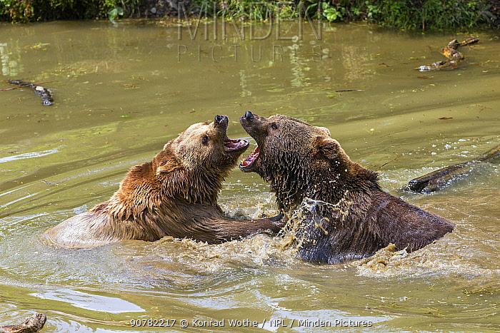 Brown bears (Ursus arctos) fighting in water, Bavarian Forest National Park, Germany, Europe