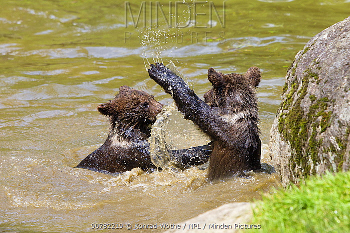 Brown bears (Ursus arctos) young playing in water, Bavarian Forest National Park, Germany, captive