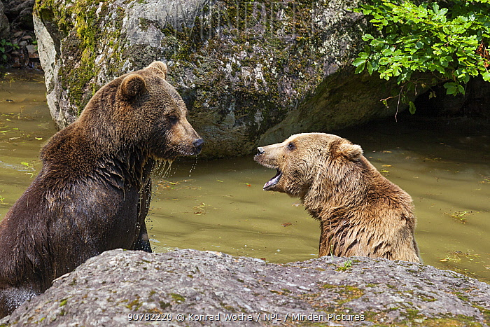 Brown bears (Ursus arctos) fighting in water, Bavarian Forest National Park, Germany, Europe