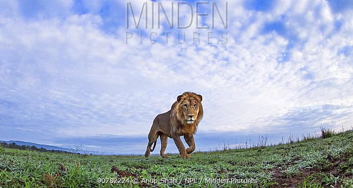 Lion (Panthera leo) male walking, Maasai Mara National Reserve, Kenya.  Remote camera image